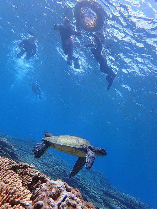 のんびり浮いててアオウミガメ