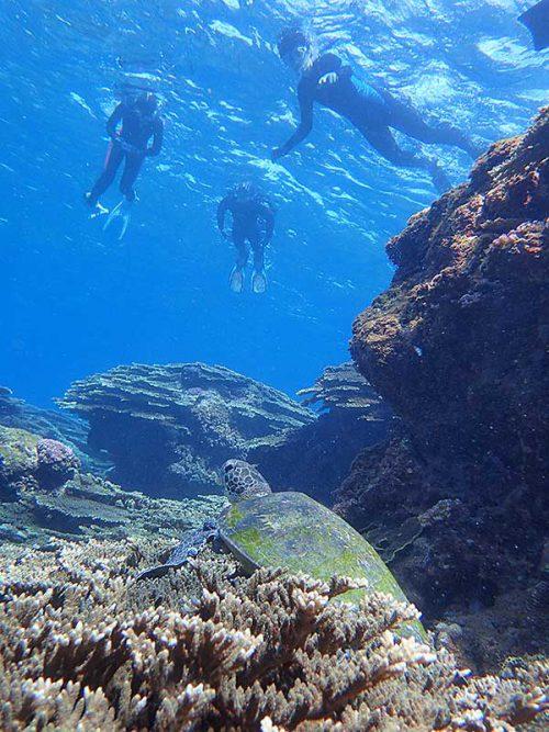サンゴの上で休憩中のアオウミガメ
