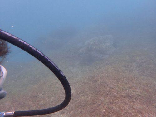 ウミガメ目の前泳いできたり