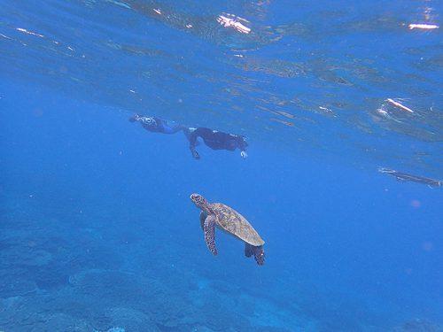 水面目指して上がってきてたアオウミガメ