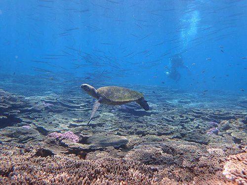 ダツの群れとアオウミガメ