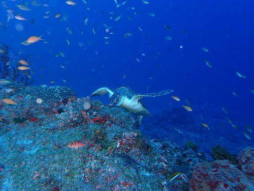 お食事中のアオウミガメ