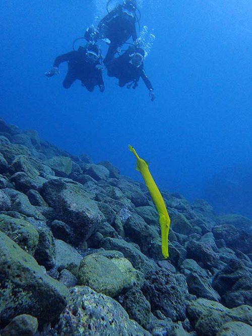 水底近くには黄色いヘラヤガラ