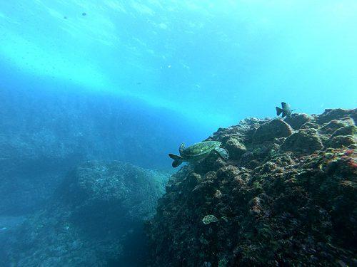 浅場を行けばアオウミガメもたくさん見かけ