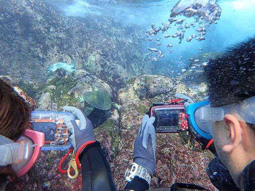 海草食べてたアオウミガメ達