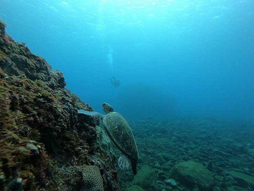 壁際で海草食べてたアオウミガメ
