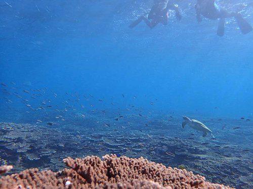 コガシラベラとアオウミガメ