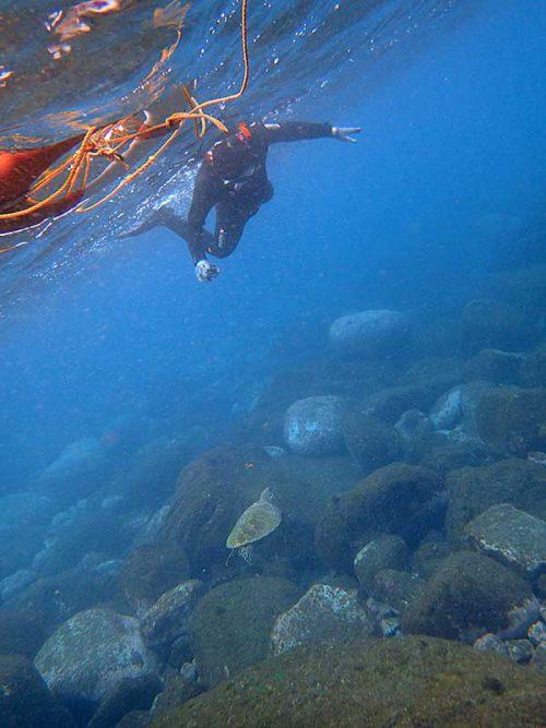 ちっこいウミガメ泳いで通り