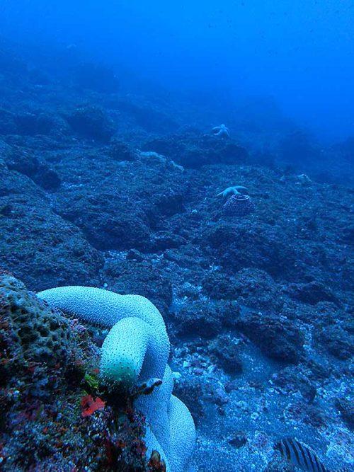 水底でたくさん見かけたオオフトトゲヒトデ