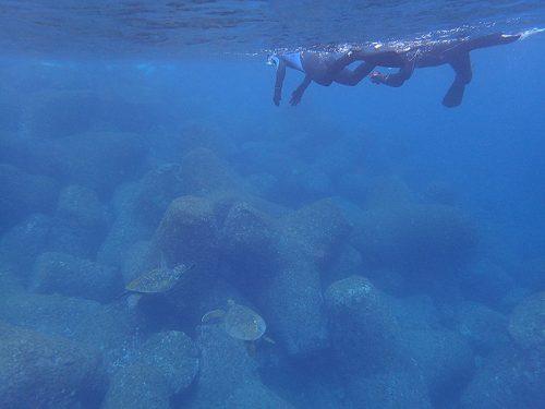さらに泳げばウミガメたくさんおりまして