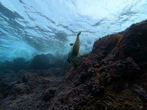 うねりに耐えてたアオウミガメ