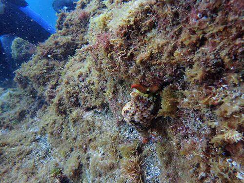 ヒトデ食べてたちっこいホラ貝
