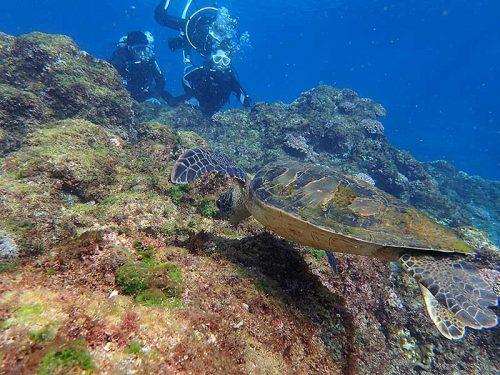 浅場で海草食べてたちっこいアオウミガメ