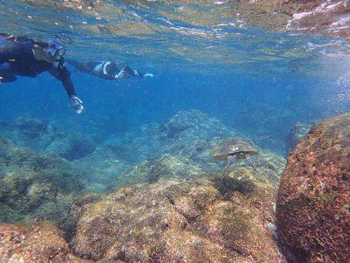 浅場で海草食べてたアオウミガメ
