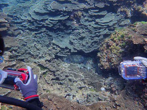 サンゴの隙間で休んでたアオウミガメ