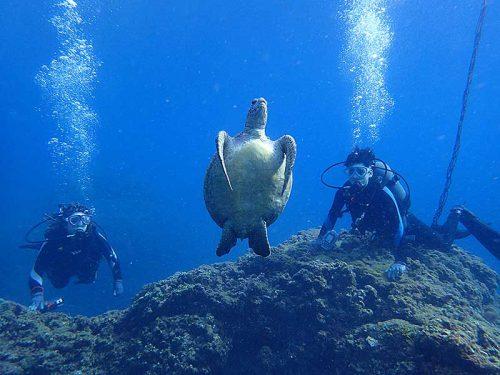 水面向かうウミガメ見かけ