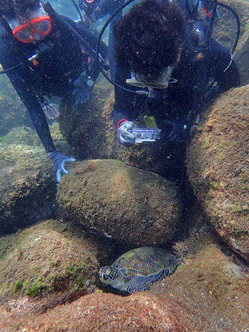 隙間で休むちっこいウミガメ