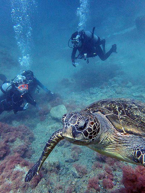 泳ぐウミガメみんなで見たり