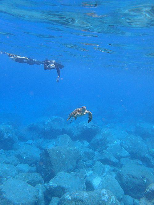ウミガメ泳いでおりまして