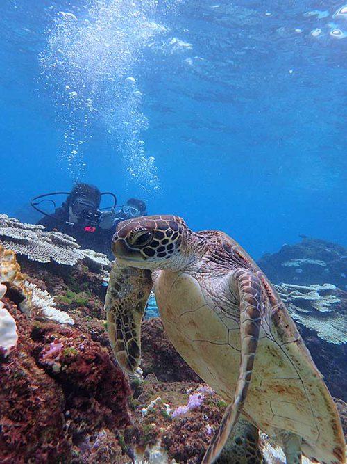 海草食べてたちっこいアオウミガメ