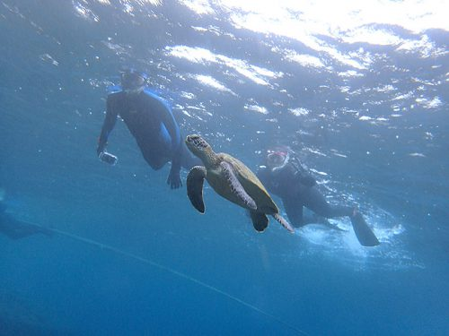 ウミガメと一緒にシュノーケリング