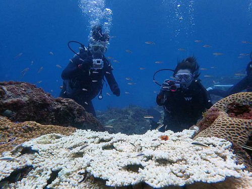 サンゴの上に集まるコガシラベラにハゼの子ども達
