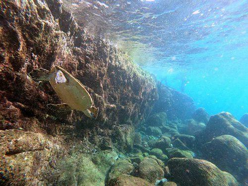 浅場に小さいアオウミガメ