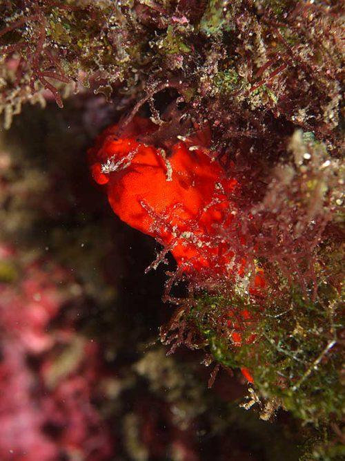 岩陰隠れるカエルアンコウ
