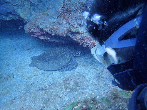 砂溜まりで休んでたアオウミガメ