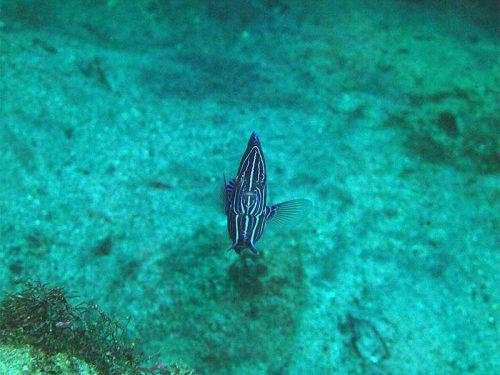 サザナミヤッコの若魚