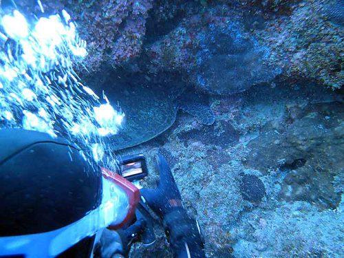 岩の隙間で休んでたアオウミガメ