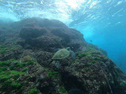 浅場でのんびりしてたアオウミガメ