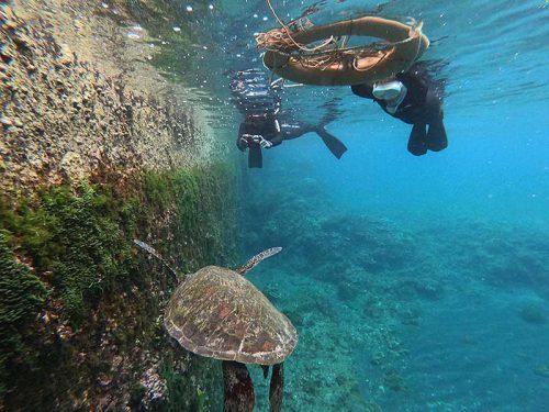 堤防下で海草食べてたアオウミガメ