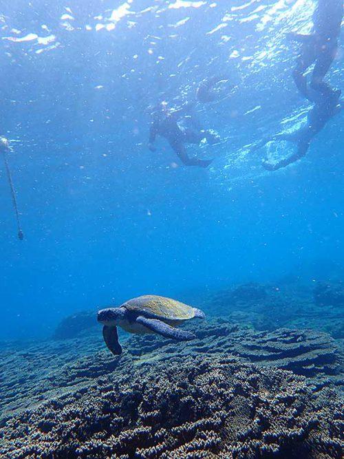 泳ぐウミガメ上から見てみて
