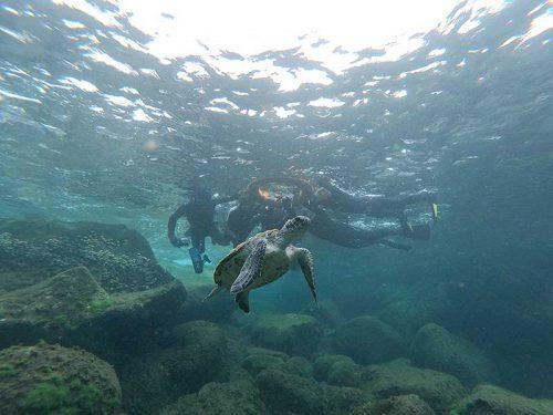 水面近くに上がってきていたアオウミガメ
