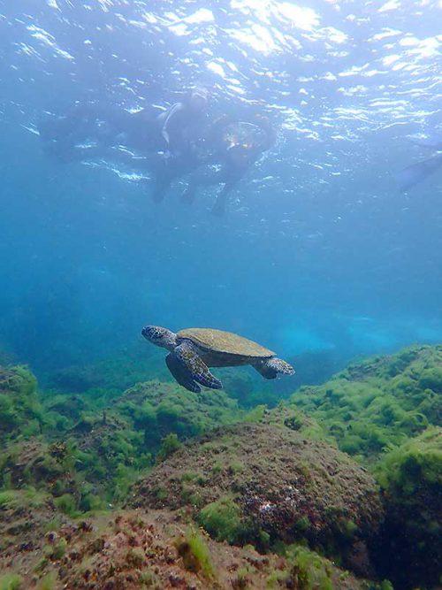 泳ぐウミガメ見て周り
