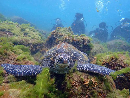 水底付近でのんびりしていたアオウミガメ