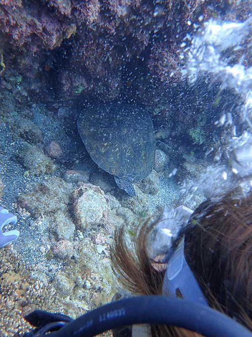 隙間で休んでたアオウミガメ