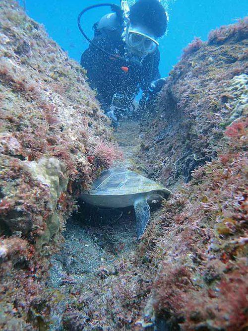 隙間にハマってたアオウミガメ