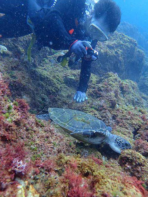 海草食べてた小さいアオウミガメ