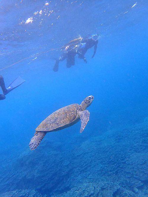 ウミガメのんびり泳いでて