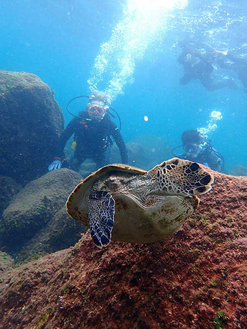 浅場でのんびりしていた小さいウミガメ