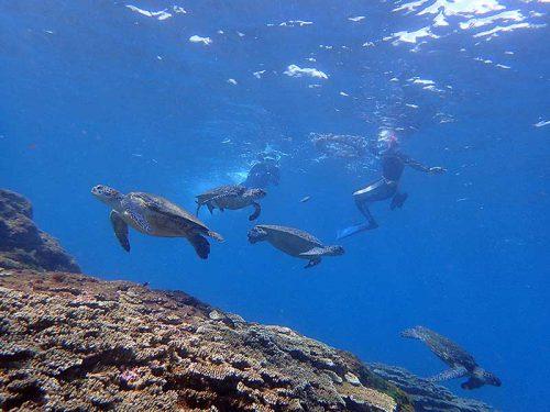たくさん集まってたアオウミガメ達