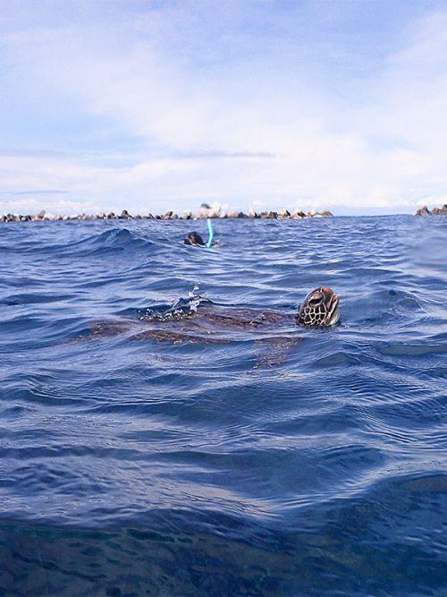 顔を上げてたアオウミガメ