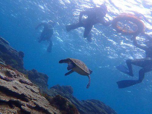 小ぶりなウミガメ泳いでいたり