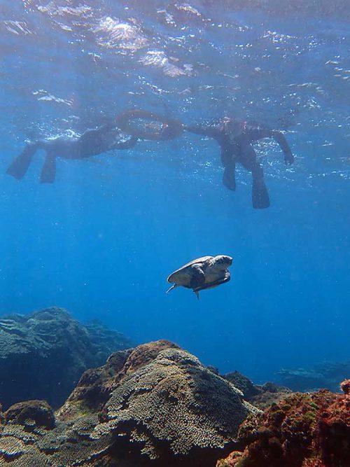 下の方でのんびり泳ぐアオウミガメ