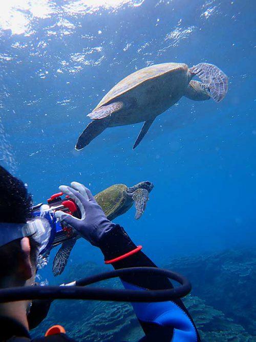 集まるウミガメ撮ったり見たり